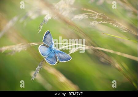 Little blue butterfly sitting on grass - Stock Photo