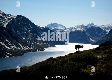 Norway, Oppland, Vaga, Jotunheimen National Park, Besseggen Ridge, reindeer in fromt of the Lake Gjende - Stock Photo