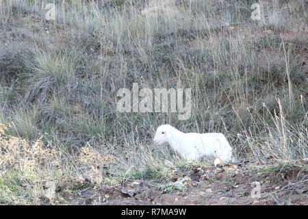 A recently birth lamb looking for its mother sheep walking on grass in the mountains of Monterde, Aragon region, Spain - Stock Photo