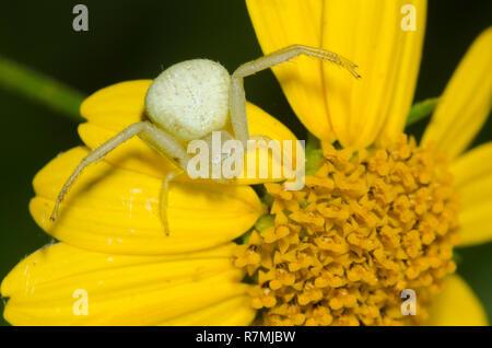 Crab Spider, Mecaphesa sp., lurking on Skeleton-Leaf Goldeneye, Viguiera stenoloba Stock Photo