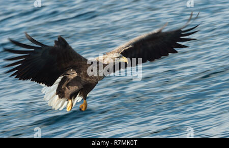 Adult White-tailed eagle fishing. Blue Ocean Background. Scientific name: Haliaeetus albicilla, also known as the ern, erne, gray eagle, Eurasian sea  - Stock Photo