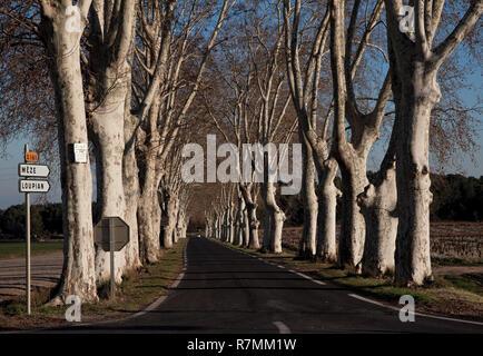 Valmagne bei Montpellier, Abtei, Platanenallee von Süden auf die Abtei zulaufend - Stock Photo