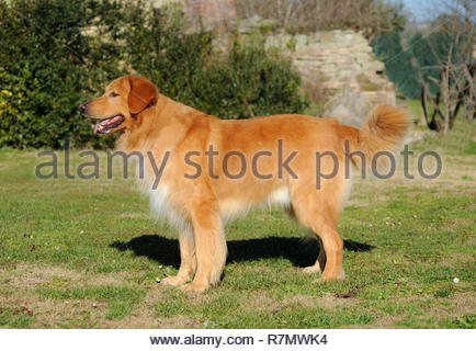 Portrait of adult Hovawart Dog in outdoors. - Stock Photo