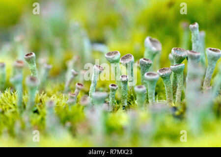 Close up of moss and a green stalked lichen (possibly cladonia chlorophaea) growing on top of a fencepost. - Stock Photo