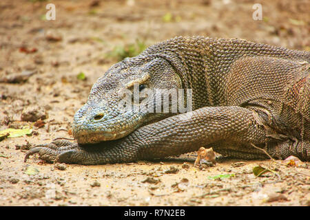 Portrait of Komodo dragon resting on Rinca Island in Komodo National Park, Nusa Tenggara, Indonesia. It is the largest living species of lizard - Stock Photo