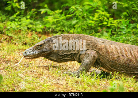 Komodo dragon walking on Rinca Island in Komodo National Park, Nusa Tenggara, Indonesia. It is the largest living species of lizard - Stock Photo