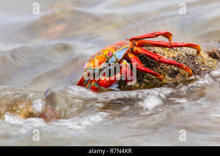 Sally lightfoot crab (Grapsus grapsus) feeding on Chinese Hat island, Galapagos National Park, Ecuador - Stock Photo