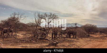 South Africa wildlife: herd of elephants in amongst bushveld destroyed by them pushing over trees to reach juicier wood and leaves in the drought - Stock Photo