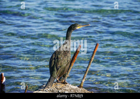European shag or common shag (Phalacrocorax aristotelis) is a species of cormorant. It breeds around the rocky coasts of western and southern Europe,  - Stock Photo