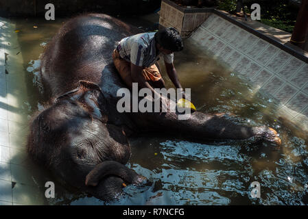 Colombo, Sri Lanka, 02/16/2014: a man washes a small elephant in the tub of the Gangaramaya Buddhist Temple in the cities of Colombo - Stock Photo