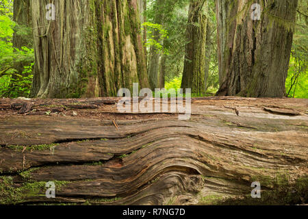 WA15482-00...WASHINGTON - A fallen giant in the forest viewed from the loop trail through the Grove of the Patriarchs in Mount Rainier National Park. - Stock Photo