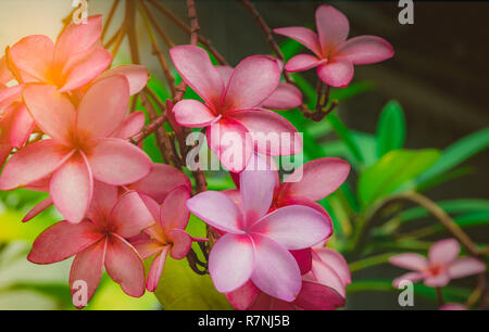 Frangipani flower (Plumeria alba) with green leaves on blurred background. Pink flowers. Health and spa background. Summer spa concept. Relax emotion. - Stock Photo