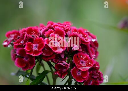 Close up of red sweet William (dianthus barbatus) flowers covered in water - Stock Photo