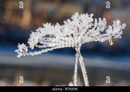 The beautiful Inflorescences covered with hoarfrost and small ice - Stock Photo