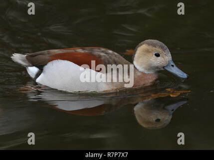 A stunning male Ringed teal (Callonetta leucophrys) swimming and feeding on a lake. - Stock Photo