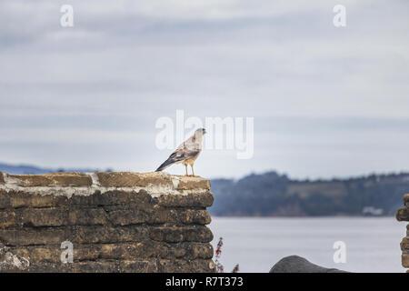 Chimango Caracara Bird at Battery of San Antonio Fort Ruins - Ancud, Chiloe Island, Chile - Stock Photo