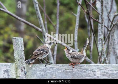 Galapagos Mockingbird (Nesomimus parvulus) feeding a chick suffering from avian pox or bird pox, Santa Cruz Island - Stock Photo