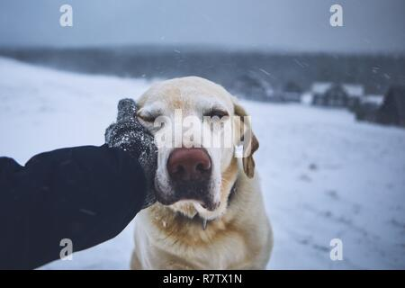Friendship between pet owner and his dog. Hand in knitted glove stroking labrador retriver in winter landscape. - Stock Photo
