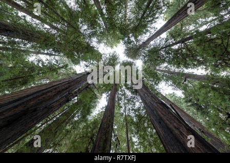 Looking straight up redwood trees in Humboldt Redwoods State Park - Stock Photo