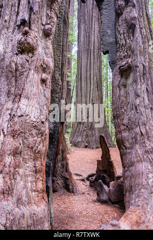 View of redwood trees in Humboldt Redwoods State Park in California - Stock Photo