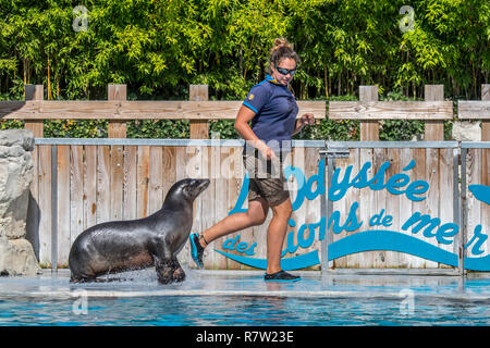 California sea lion (Zalophus californianus) performing with zookeeper at the French zoo ZooParc de Beauval, France - Stock Photo