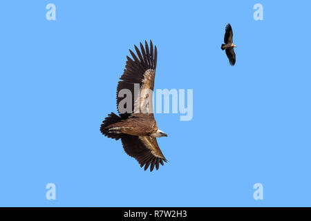 Two griffon vultures / Eurasian griffon (Gyps fulvus) in flight, soaring against blue sky - Stock Photo