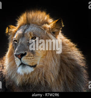 Close-up portrait of male African lion (Panthera leo) with large manes in backlight against dark / black background - Stock Photo