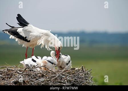 White stork feeding youngs on the nest (Ciconia ciconia), France - Stock Photo