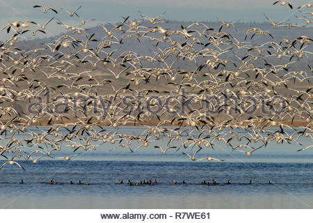 Snow Geese flock in flight lifting off from wetland pond, Lower Klamath National Wildlife Refuge, California, USA - Stock Photo