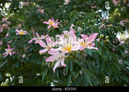 Ceiba speciosa pink blossom - Stock Photo