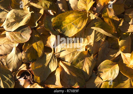 Close-up of a pile of persimmon leaves that have fallen from the tree by the arrival of autumn cold - Stock Photo