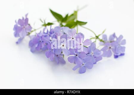 Phlox divaricata 'Blue Moon' Flowers on white background - Stock Photo