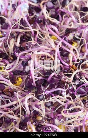 Radish Sprouts, Raphanus Sativus - Stock Photo
