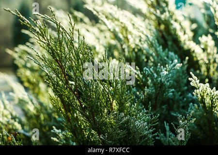 Closeup nature detail of small frosted icy plants and dry, dead frozen leaves with rime covering the ground with crisp, chilly hoar frost and atmospheric sunlight a cold fresh winter morning. - Stock Photo