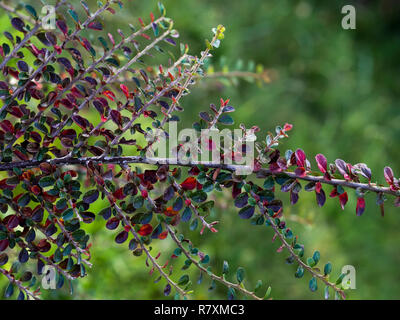 Scarlet firethorn bush plant. Small orange-colored fruit shrub plants, branches and leaves - Stock Photo