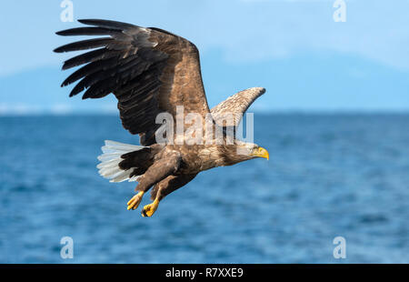 Adult White-tailed eagles fishing. Blue Ocean  background. Scientific name: Haliaeetus albicilla, also known as the ern, erne, gray eagle, Eurasian se - Stock Photo