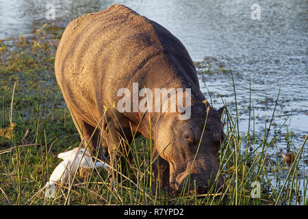 Hippopotamus (Hippopotamus amphibius), wading and grazing in the water of the Sabie River,with two cattle egrets (Bubulcus ibis) and an African jacana - Stock Photo