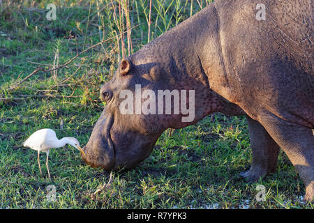 Hippopotamus (Hippopotamus amphibius), wading and grazing at the edge of the Sabie River, next to a cattle egret (Bubulcus ibis), Kruger, South Africa - Stock Photo