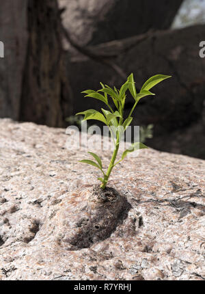 new sprout grows from the old trunk of a baobab tree