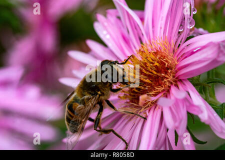 Close-Up Detail of a Drone Hoverfly (Eristalis tenax) Feeding on Nectar from a Late Autumn Garden Flower Before Hibernation. Great Torrington, Devon E - Stock Photo
