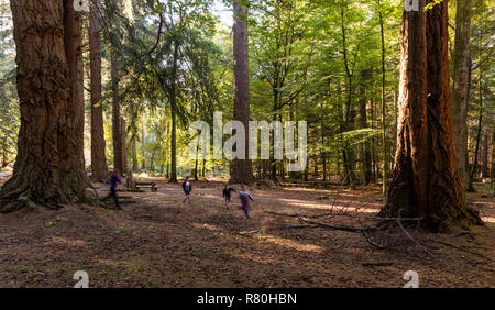 Lyndhurst, England - October 24, 2018: Children playing and running at the  Rhinefield Ornamental Drive in New Forest with giant Sequoais. - Stock Photo