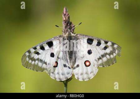 Mountain Apollo (Parnassius apollo). Butterfly on a fower. Hohe Tauern National Park, Carinthia, Austria - Stock Photo