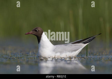 Black-headed Gull (Chroicocephalus ridibundus). Adult in breeding plumage on water. Germany - Stock Photo