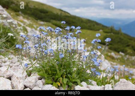 Alpine Forget-me-not (Myosotis alpestris), flowering plant. Hohe Tauern National Park, Carinthia, Austria - Stock Photo