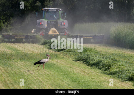 European White Stork (Ciconia ciconia). Adult foraging on a meadow next to a mowing machine. Germany - Stock Photo