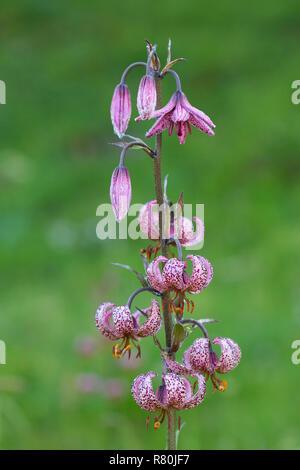 Turk's Cap, Martagon Lily (Lilium martagon), flowering plant. Hohe Tauern National Park, Carinthia, Austria - Stock Photo