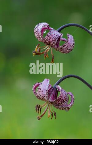 Turk's Cap, Martagon Lily (Lilium martagon), flowers. Hohe Tauern National Park, Carinthia, Austria - Stock Photo