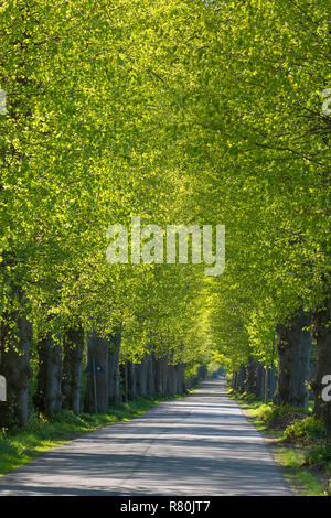 Large-leaved Lime (Tilia platyphyllos). Tree avenue in spring. Schleswig-Holstein, Deutschland - Stock Photo