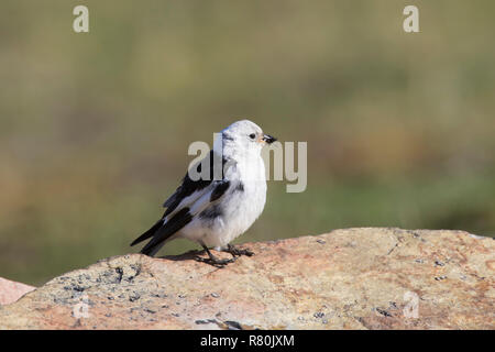Snow Bunting  (Plectrophenax nivalis). Adult male in breeding plumage, with insects for its chicks. Svalbard, Norway - Stock Photo