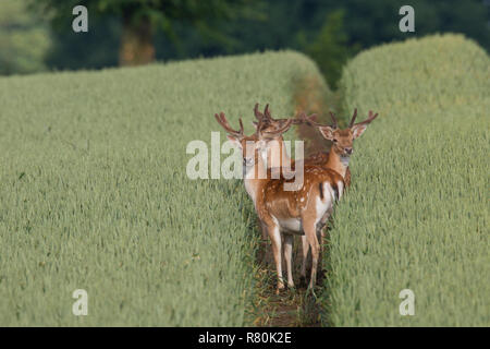Fallow deer (Cervus dama, Dama dama). Bucks in velvet in a cornfield, Schleswig-Holstein, Germany - Stock Photo
